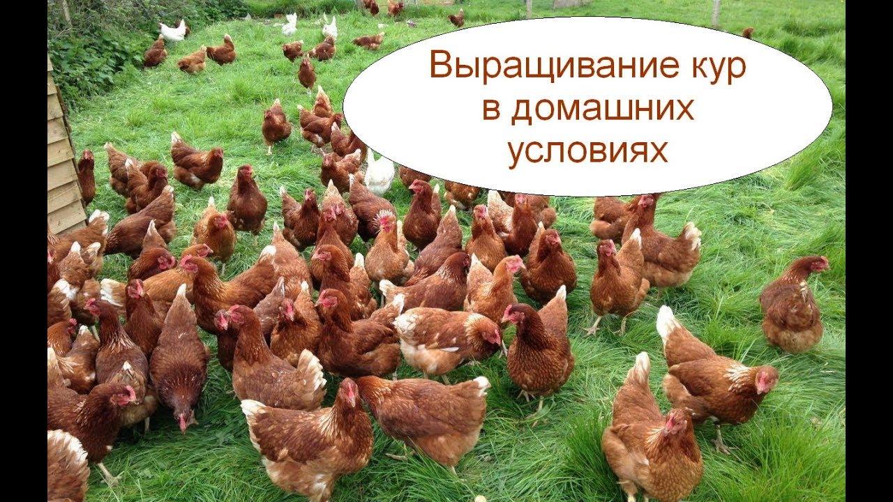 Выращивание кур в домашних условиях для начинающих предпринимателей