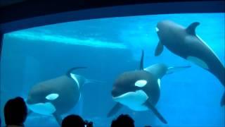 シャチのあくび & 目 & 人間の子供に興味を持つ様子 / 名古屋港水族館 thumbnail