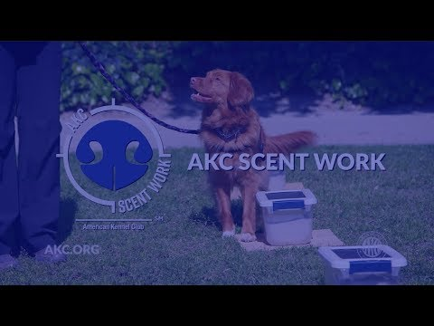 AKC Scent Work | Intro to Dog Sports
