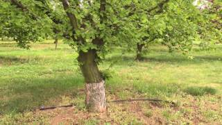 Сад фундука привитый на медвежий орех.Питомник орехоплодных культур