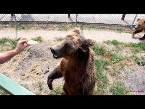 Close to brown bears - Bear center in Hungary (Behind the fence) Medveotthon