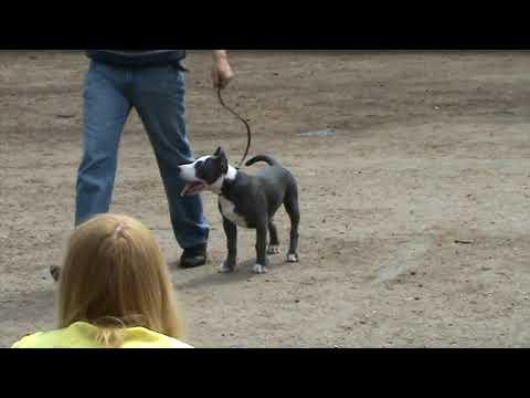 американский стаффтерьер  щенок кобель  в ринге 03.05.2009 Луганск