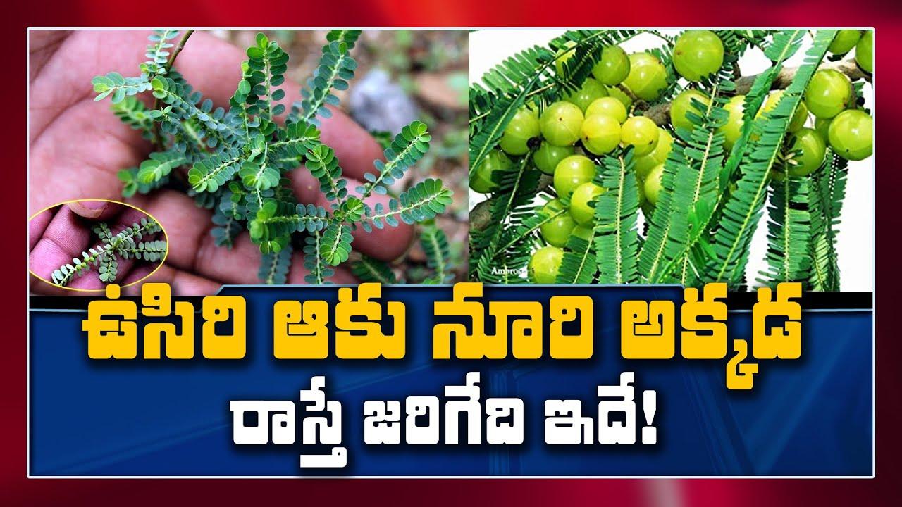 ఉసిరి కాయతో ఆడవారికి అద్భుతాలు   ||  Benefits Of Amla and Leaves