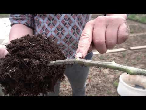 Eiskraut & Klimatomate Teil 2: Pflanzung