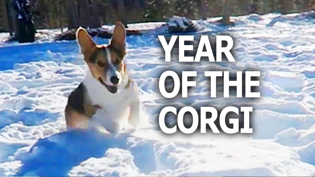 The Year Of The Corgi Dog Life After College Ep 461 Youtube