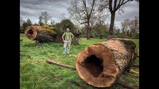 Cortando Un Árbol Gigante - Giant Oak Tree