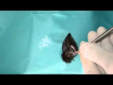 Orhiectomie Motan (Male Cat Orchidectomy)