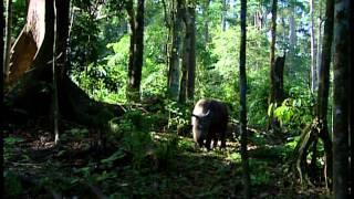 Исчезающий суматранский носорог