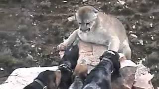 ROFLTV.RU Горный лев против собак