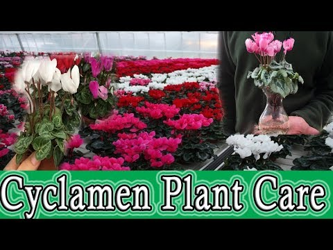 "Cyclamen Plants Care And New Growth ""Pattoki Plants"""