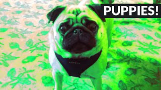 Pug Makes Hilarious Sounds When It's Food Time!
