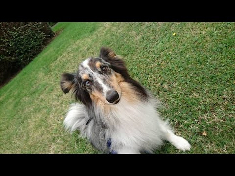 Shadow - Sheltie - 4 Weeks Residential Dog Training