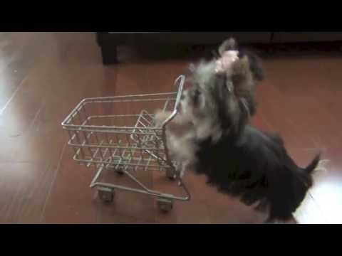 Misa Minnie Shopping puppy 24 wks old