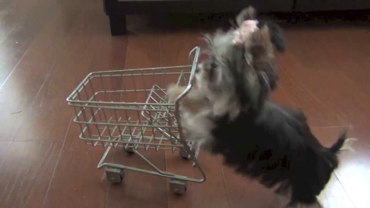 Misa Minnie Shopping puppy 24 wks old - YouTube
