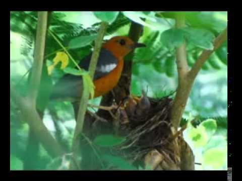 suara burung rame