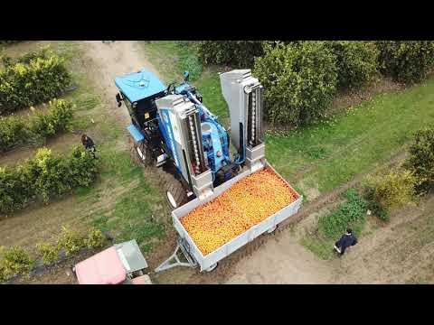 Citrus Trees In SHD   Citrus Mechanical Harvesting