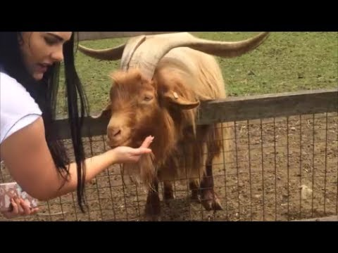 FUNNY GOAT, FUNNY ANIMALS, BABY ANIMALS, FUNNY ANIMALS VIDEO, GOAT WITH HUGE HORNS