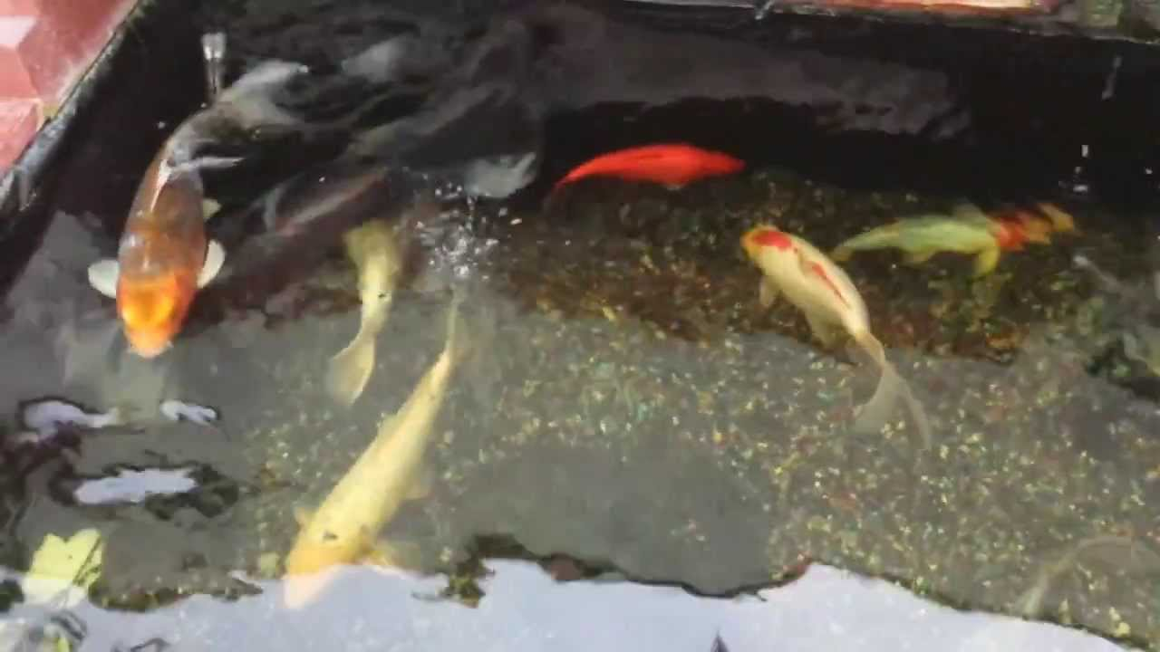 Black butterfly koi fish youtube for Black koi fish