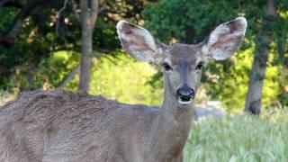 Deer Ear Wiggle thumbnail