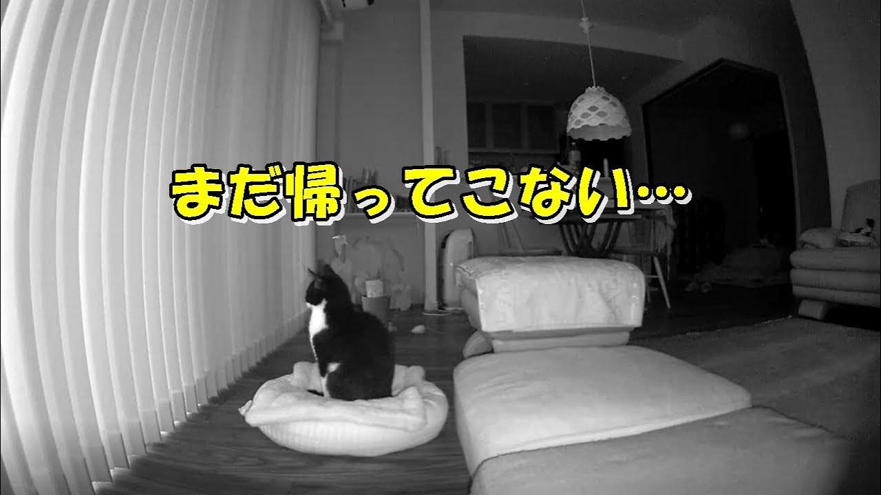 ビビリ猫に一晩お留守番をお願いしたら?熱烈なお出迎え♪