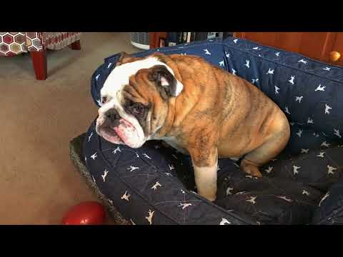 Reuben the Bulldog: Hangry Dog