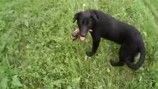 Воспитание щенка лабрадора для охоты (натаска по утке)