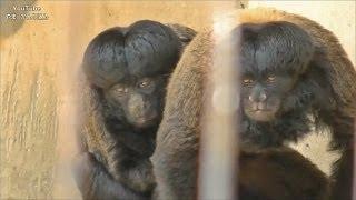 ヒゲサキの交尾(髪型がおもしろいサル)/ 東山動物園