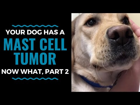 Mast Cell Tumors In Dogs Treatment Options, Now What, Part 2