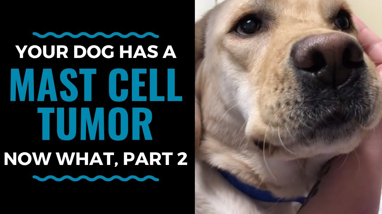 Mast Cell Tumors In Dogs Treatment Options, Now What, Part 2 Vlog 64