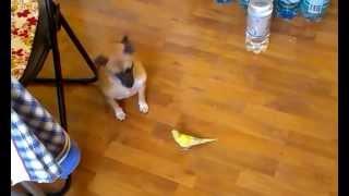 Знакомство попугая и собаки / Familiarity parrot and dogs