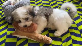 Amazing Fawn & White Male Havanese Puppy!