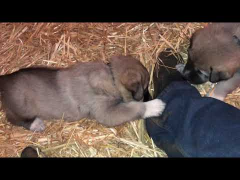 Kangal Akbash puppies starting to show unique personalities