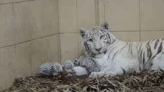 białe tygrysy zoo safari borysew