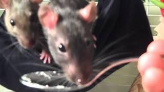 6 Week Old Rats Eat Baby Food c: