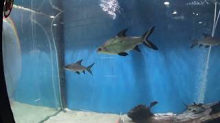 piranha fish video