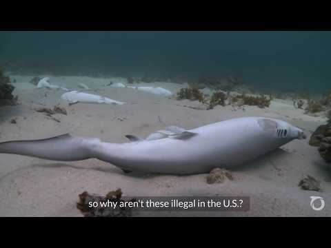 Alexandra Cousteau: Ban The US Shark Fin Trade | Oceana