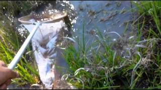 Catching Tadpoles For My Backyard Ponds - Western Australia - Bleating Toadlet Frogs etc