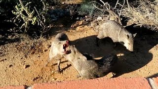Gambar cover If you ever wanted to pet a Javelina this video shows you why you should not try 10242019