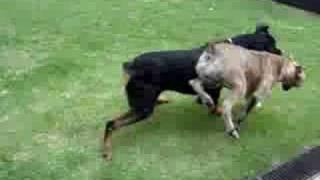 Cane Corso, Dogue De Bordeaux E Rottweiler