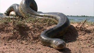 विश्व का सबसे विशाल एनाकोंडा पकड़ा गया World's largest snake found