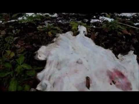 brain tanning deer hides- modern preperation for hair and grain removal: [ part 3 of 10 ]