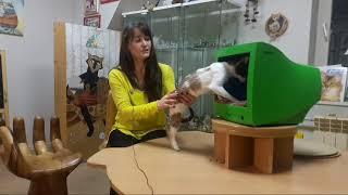 Репортаж из музея Кошки. Разговор с Латифой, кошкой породы Корниш Рекс.