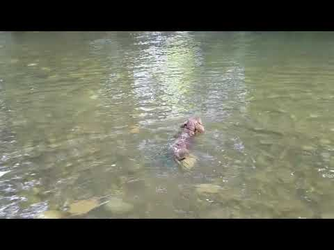 11 week old puppy learning tricks & swimming (Chesepeake bay retriever)