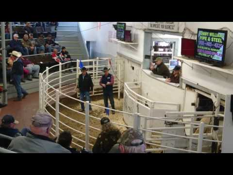 Sulpur Springs's Cattle Auction