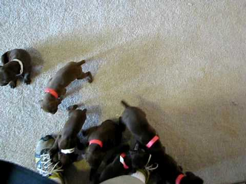 German Shorthair Pointer Puppies AKC All 10 of them