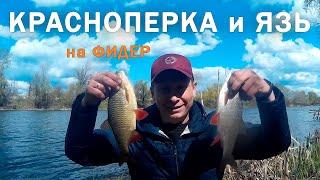 Рыбалка на ФИДЕР НА РЕКЕ ЯЗЬ и ОГРОМНАЯ КРАСНОПЕРКА