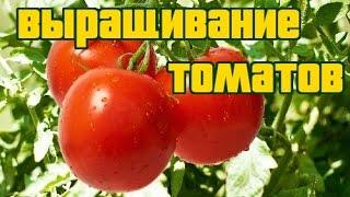 видео Агротехника выращивания томатов