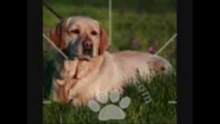 Labrador Retriever Puppies For Sale, By Pets4you.com