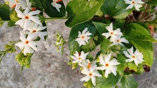 how to grow shiuli plant II parijat flowers care II shiuli fuler poricharja II shefali plants II
