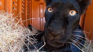 Black Leopard Nikita Update & Reunion | The Lion Whisperer